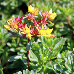 sedum floriferum Weihenstephaner Gold